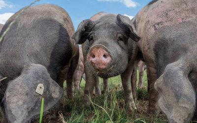 NEU: Ausgezeichnete Schweinerasse im Wirtshaus zur Wunderburg